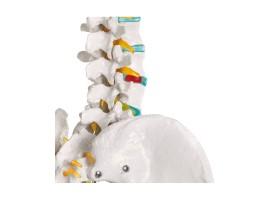 Ανθρώπινος Σκελετός Ανατομίας - Διδακτικό Πρόπλασμα